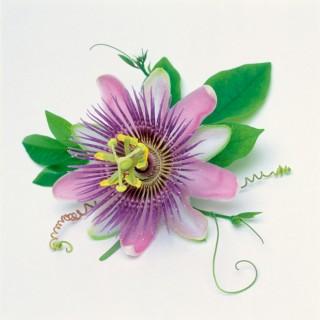 Passion-Flower-V