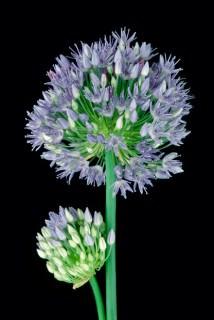 Color Botanicals - Allium-Azureum