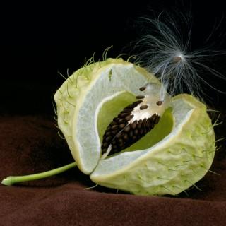 Asclepias-Seed-Pod-II