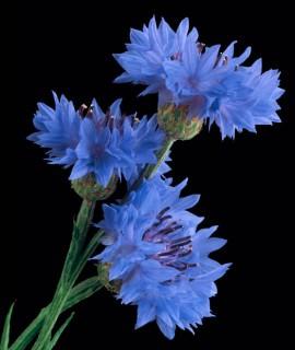 Color Botanicals - Bachelor Buttons