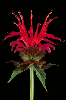 Color Botanicals - Bee-Balm