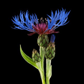 Color Botanicals - Centaurea I