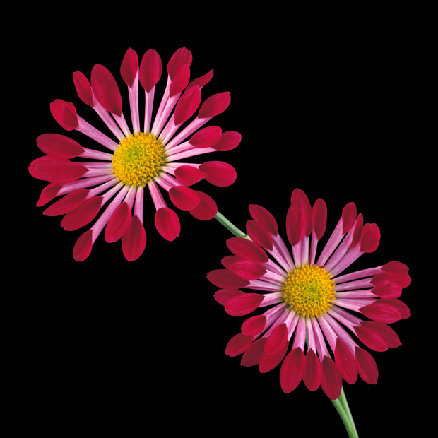 Color Botanicals - Chrysanthemum