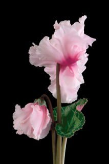 Cyclamen-with-Bud