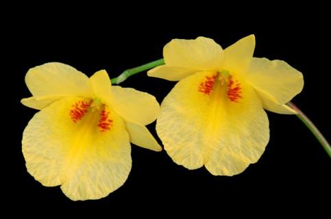 Dendrobium-Golden-Aya