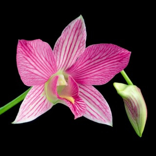 Dendrobium-I