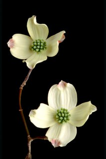 Color Botanicals - Dogwood