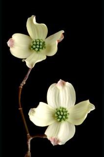 Color Botanicals - Dogwood