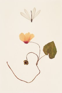 Dried-Cyclamen-with-Dragonfly