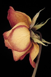 Dried-Rose