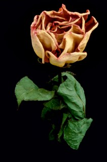 Dried-Rose-I