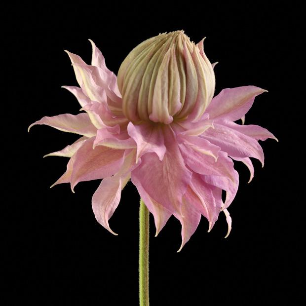 Color Botanicals - Emerging Clematis