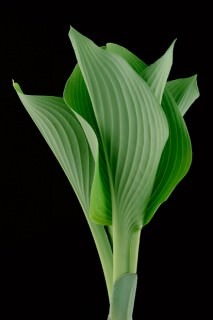 Color Botanicals - Emerging-Hosta