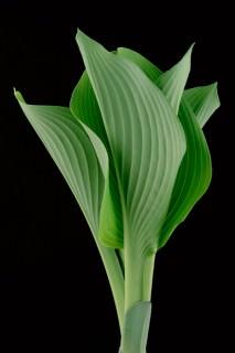 Color Botanicals - Emerging-Hosta