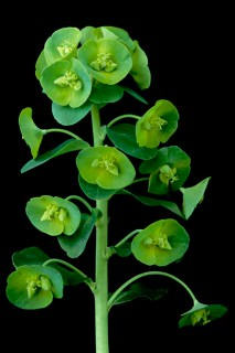 Color Botanicals - Euphorbia