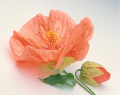 Color Botanicals - Flowering Maple