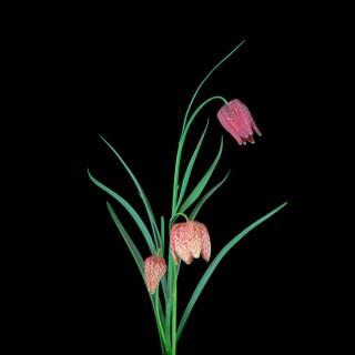 Fritillaria-Square