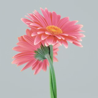 Color Botanicals - Gerbera II