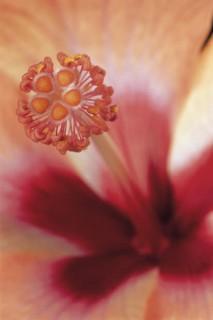 Hibiscus-II