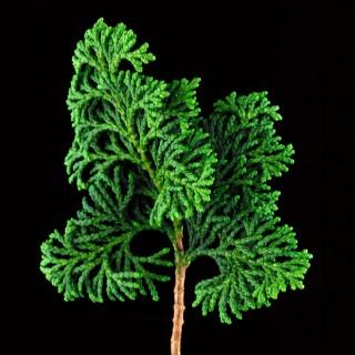 Hinoke-Cypress