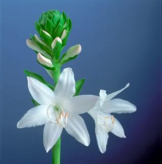 Color Botanicals - Hosta-Blossom