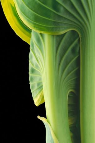 Color Botanicals - Hosta