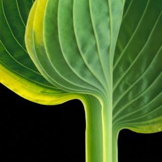 Color Botanicals - Hosta II