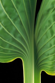 Color Botanicals - Hosta-III
