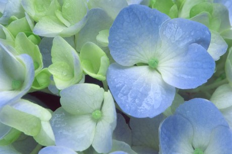 Color Botanicals - Hydrangea