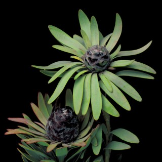 Color Botanicals - Leucadendron