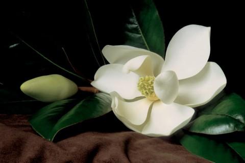 Magnolia-Blossom-with-Bud