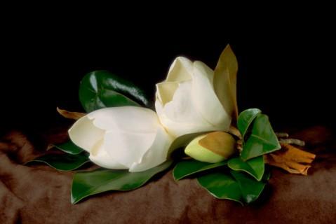 Magnolia-Blossoms-I