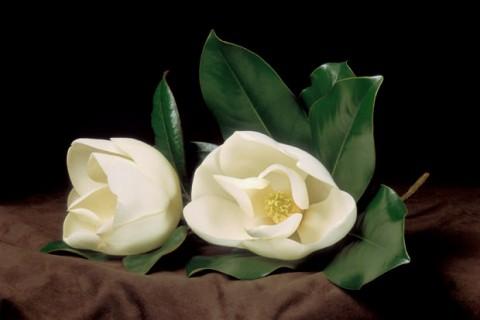 Magnolia-Blossoms-II