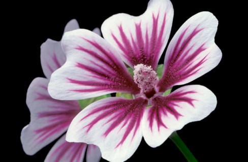Color Botanicals - Malva
