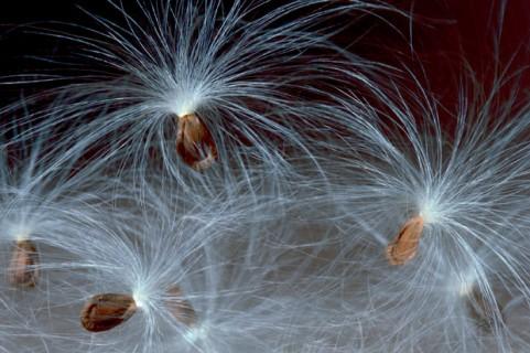 Miilkweed-Seeds