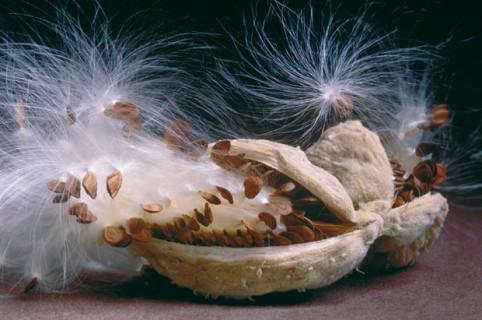 Milkweed-Seed-Pod