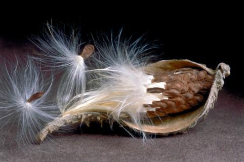 Milkweed-Seedpod-II