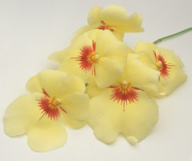 Color Botanicals - Miltonia