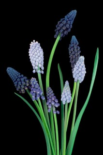 Color Botanicals - Muscari