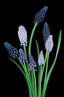 Color Botanicals - Muscari