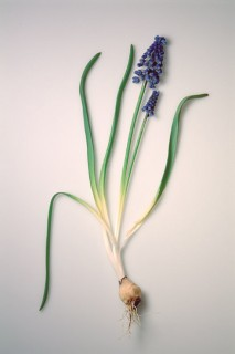 Muscari-with-Bulb