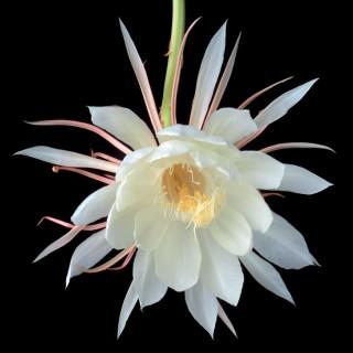 Color Botanicals - Orchid-Cactus-I