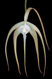 Orchid-Study-Brassivola-Cucolata