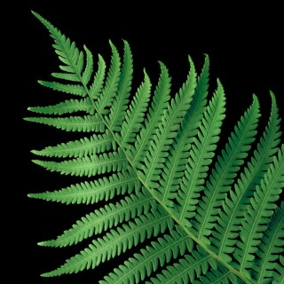 Color Botanicals - Ostrich Fern