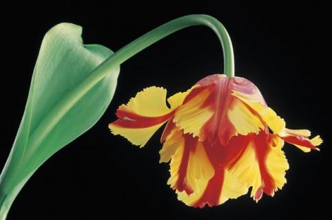 Parrot-Tulip-I