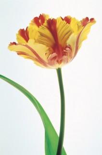Parrot-Tulip-II