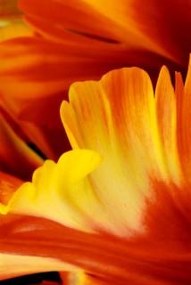 Parrot-Tulip-III