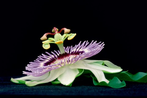 Passion-Flower-II