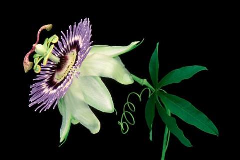 Passion-Flower-III