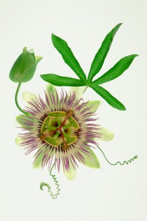Passion-Flower-IV-Vert-a